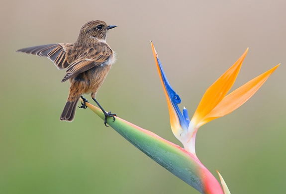Stonechat - Nature Photo